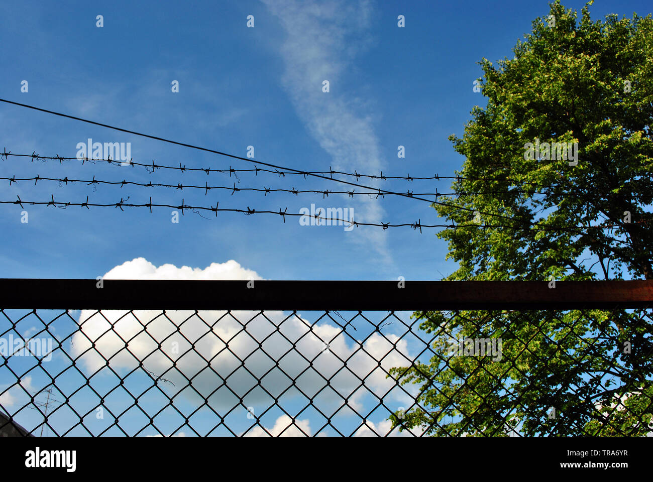 Green tree behind jail barbed wire grid fence, spring sunny landscape with blue cloudy sky background - Stock Image