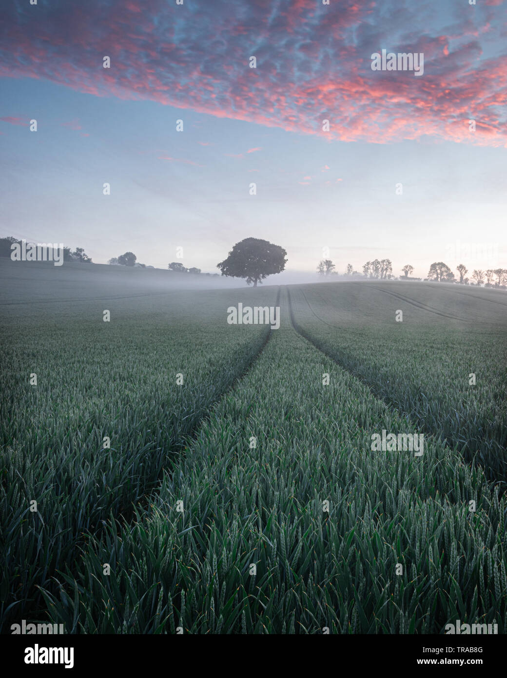 A lone tree in a green wheat field on a misty morning Stock Photo