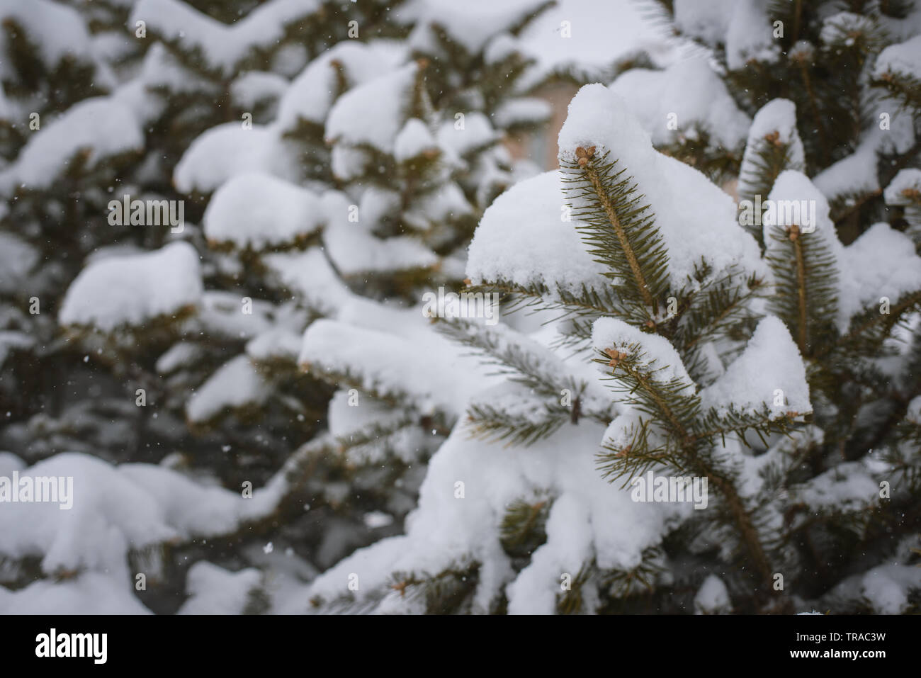 Pine tree covered with snow. Selective focus with shallow depth of field. Stock Photo