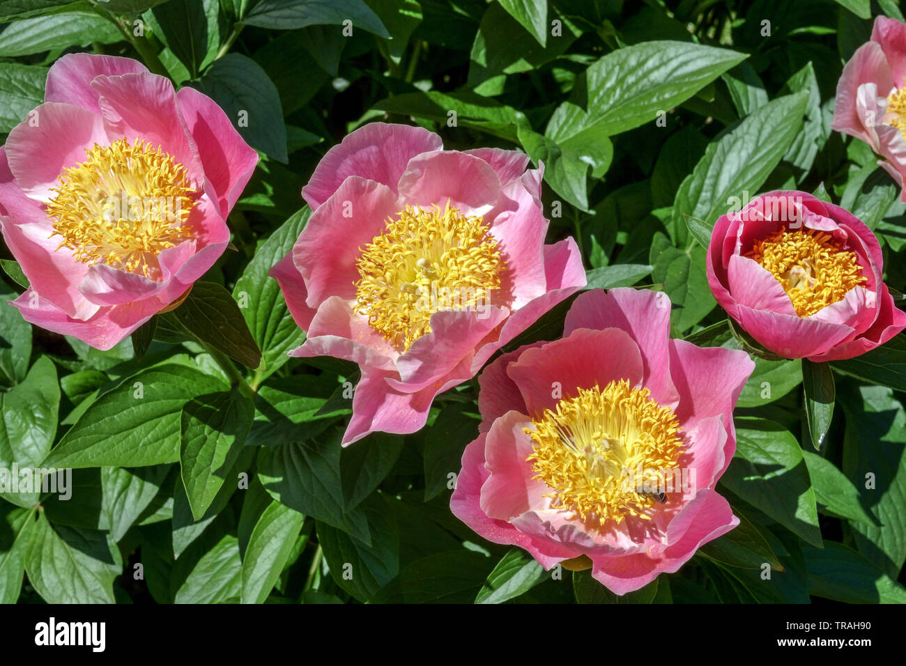 Paeonia lactiflora 'Gedenken', Pink peony, Peonies - Stock Image