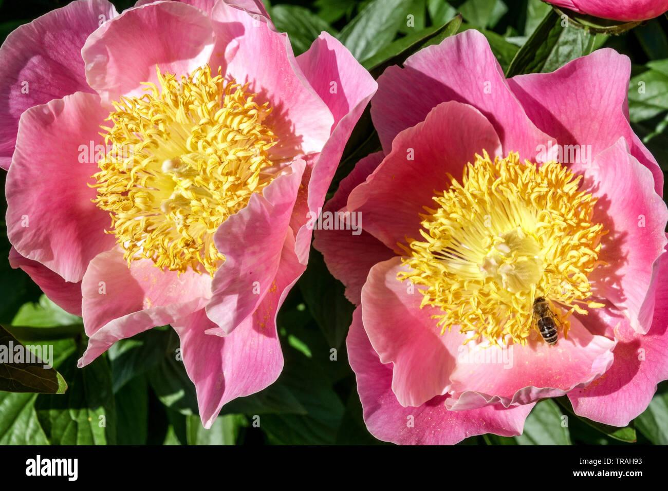 Paeonia lactiflora 'Gedenken', Pink peony flowers, Peonies - Stock Image