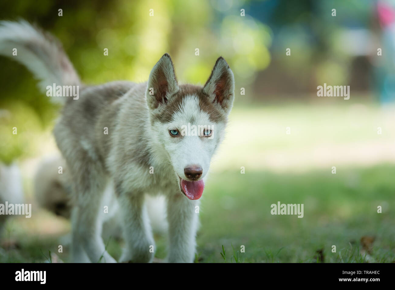 Cute Blue Eyed Siberian Husky Puppy Siberian Husky Puppy Approaching Forward Stock Photo Alamy