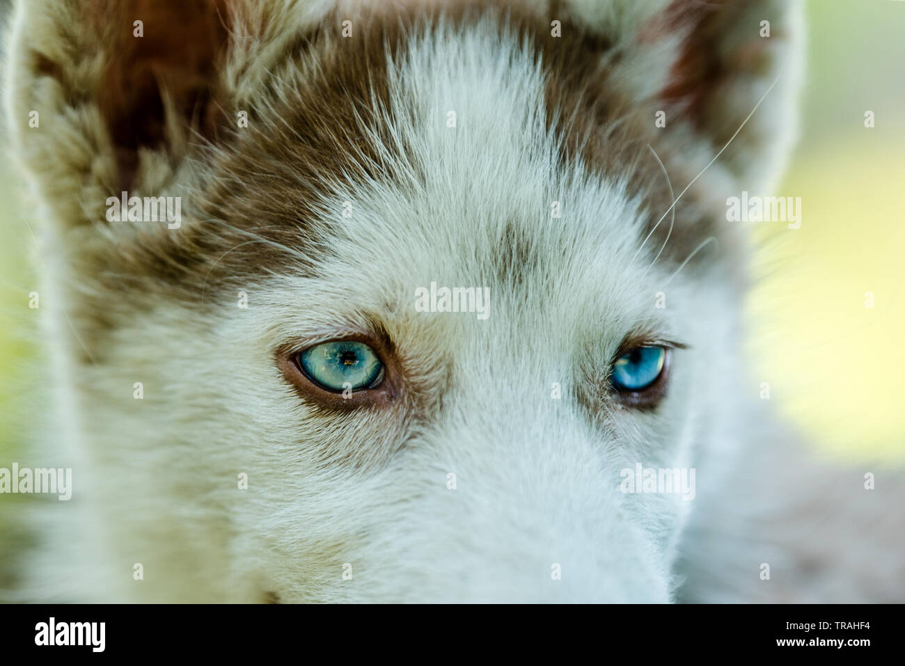 Cute Blue Eye Siberian Husky Puppy Playing And Looking Around Stock Photo Alamy