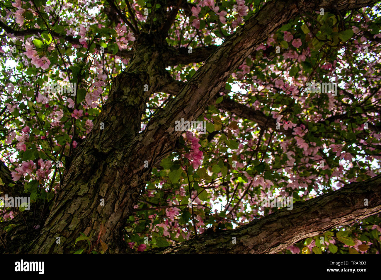 Looking up at blooming tree in the spring Stock Photo