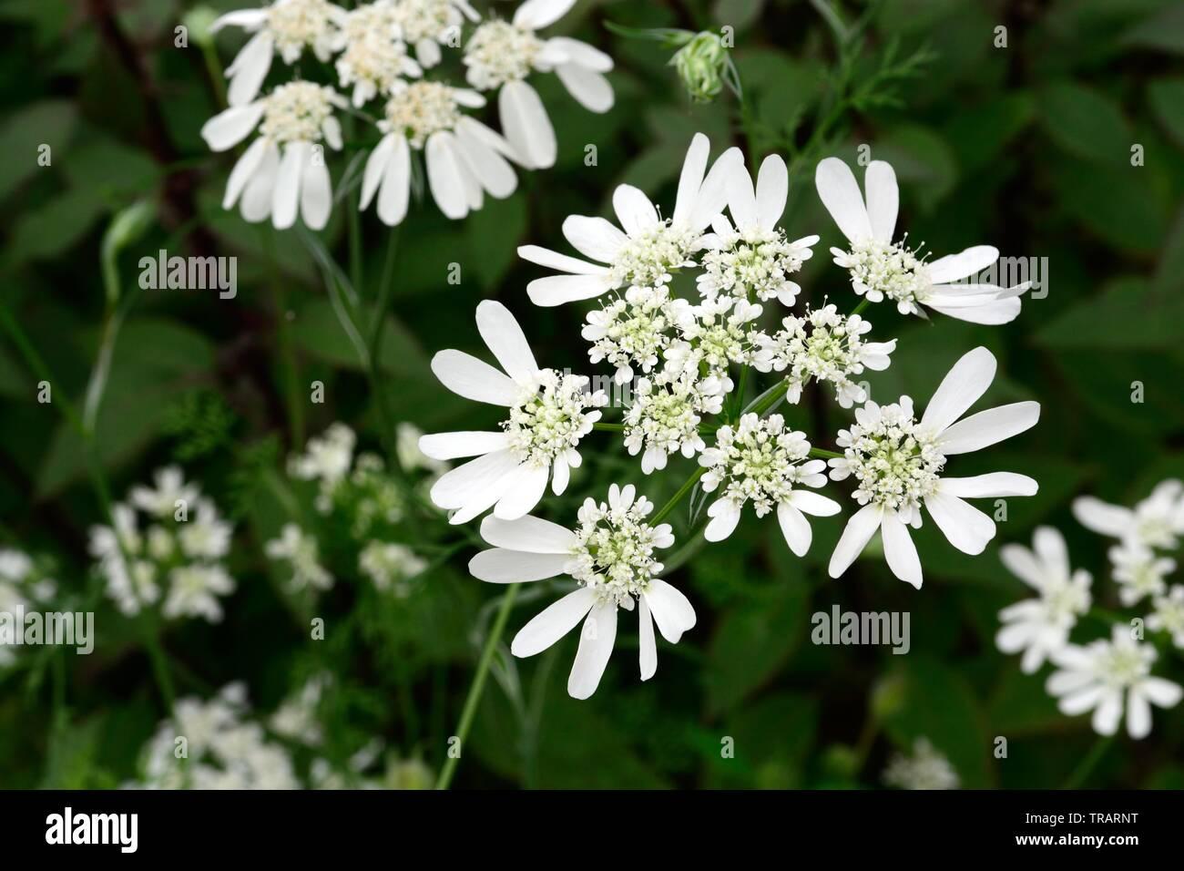 Orlaya grandiflora White lace flowers Stock Photo