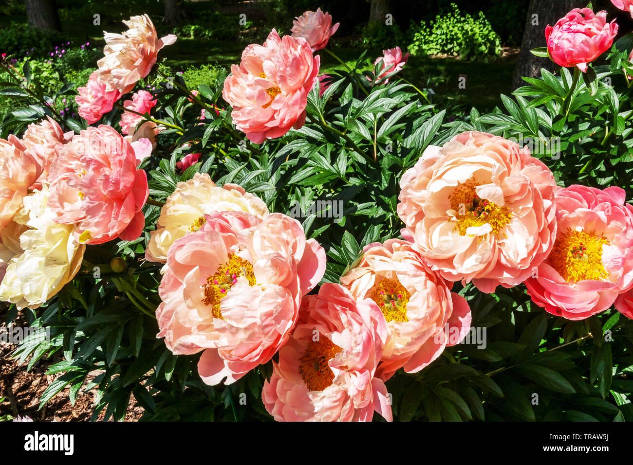 Beautiful Garden Flowers Pink Peony Paeonia Pink Hawaiian Coral