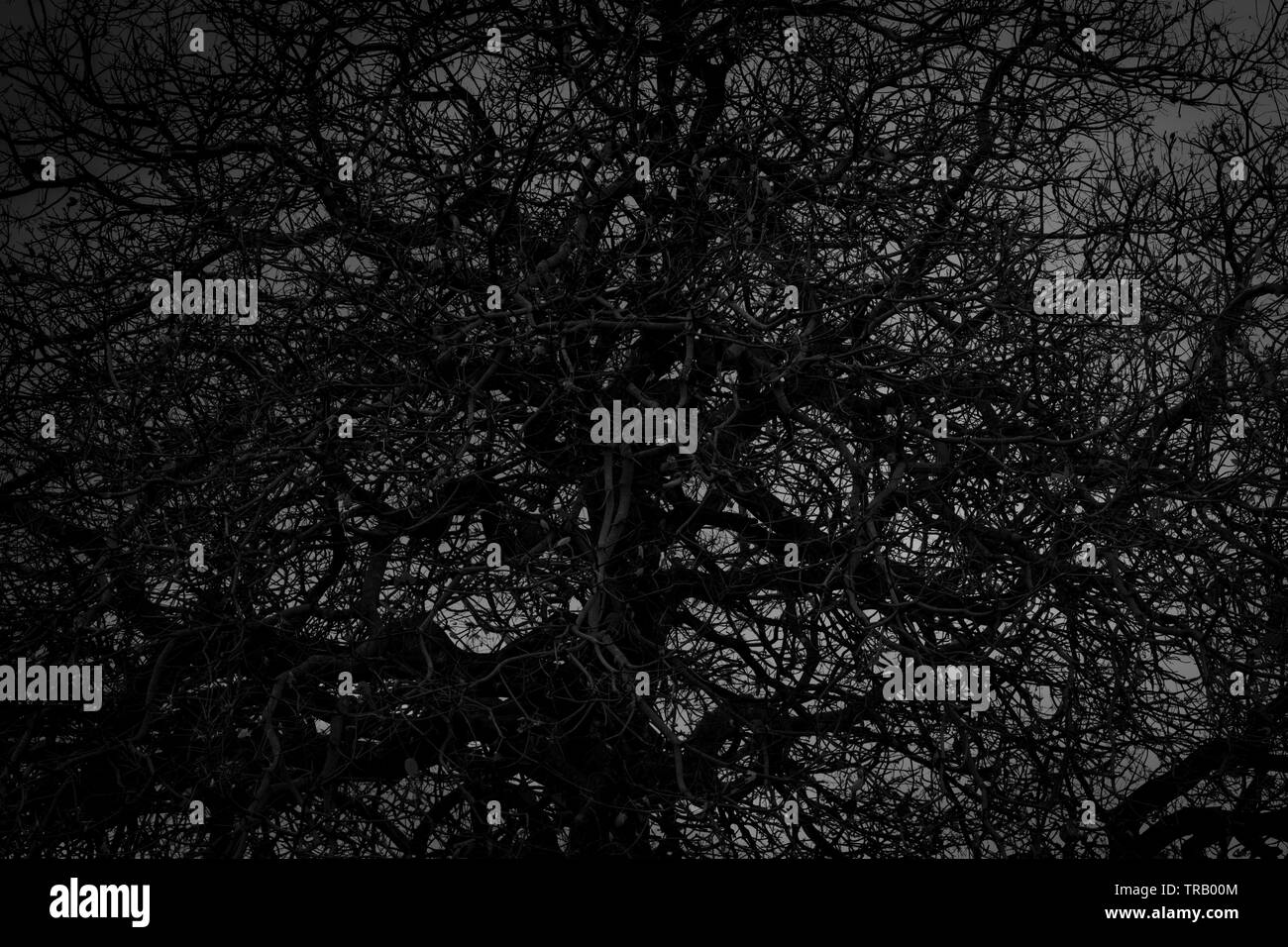 Dead tree and branch on white background. Black branches of tree. Disorganized tree branches. Tangled of life concept. Crazy pattern. Intertwined - Stock Image