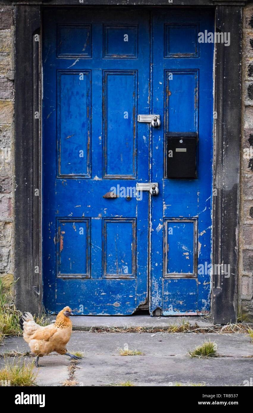 Free range hens and a blue door - Stock Image