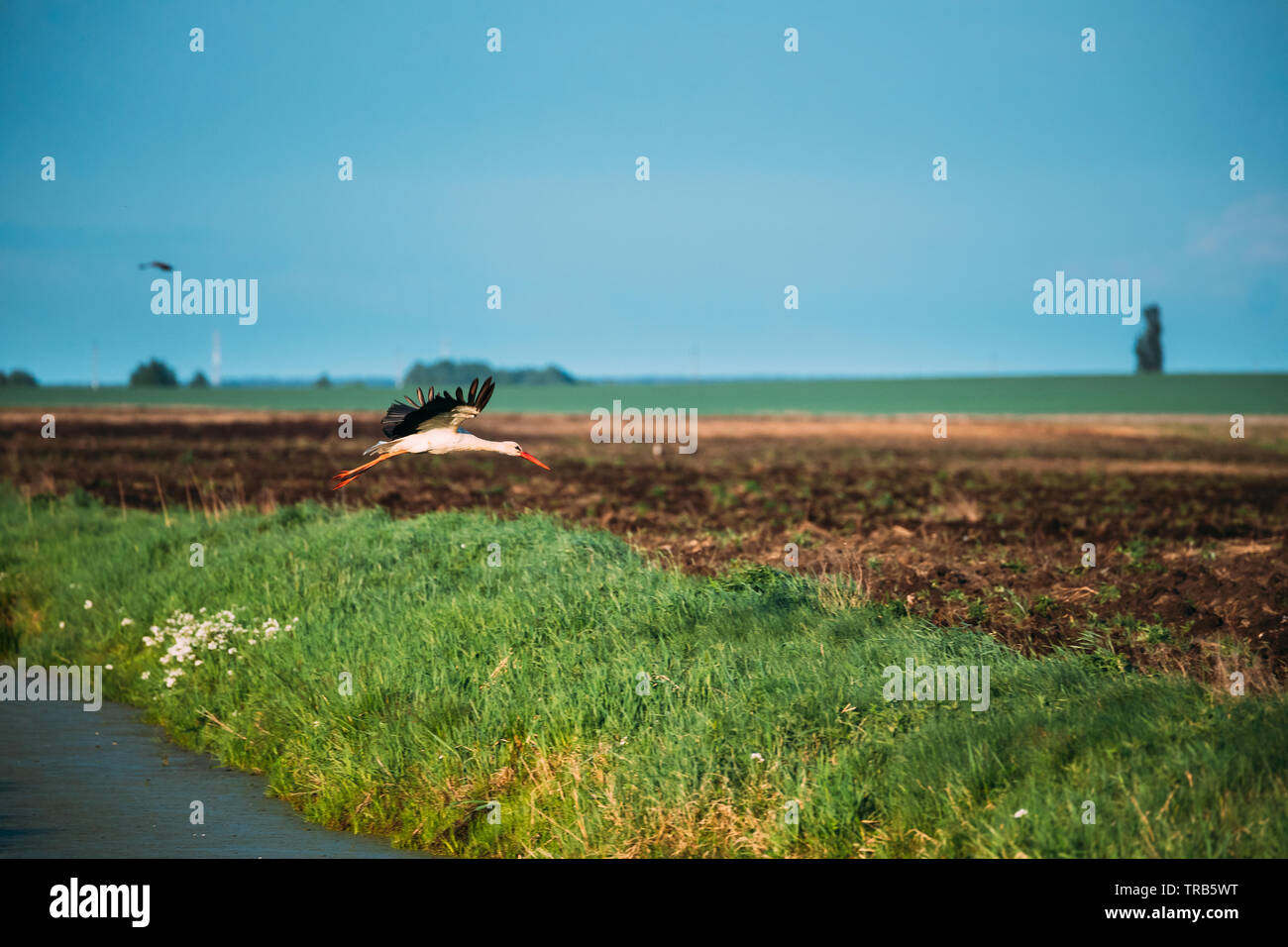 European White Stork Ciconia Ciconia Flying Above Spring Field in Belarus. Stock Photo