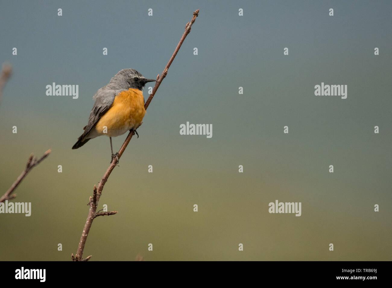 Stunning bird photo. White-throated robin (Irania gutturalis). Stock Photo