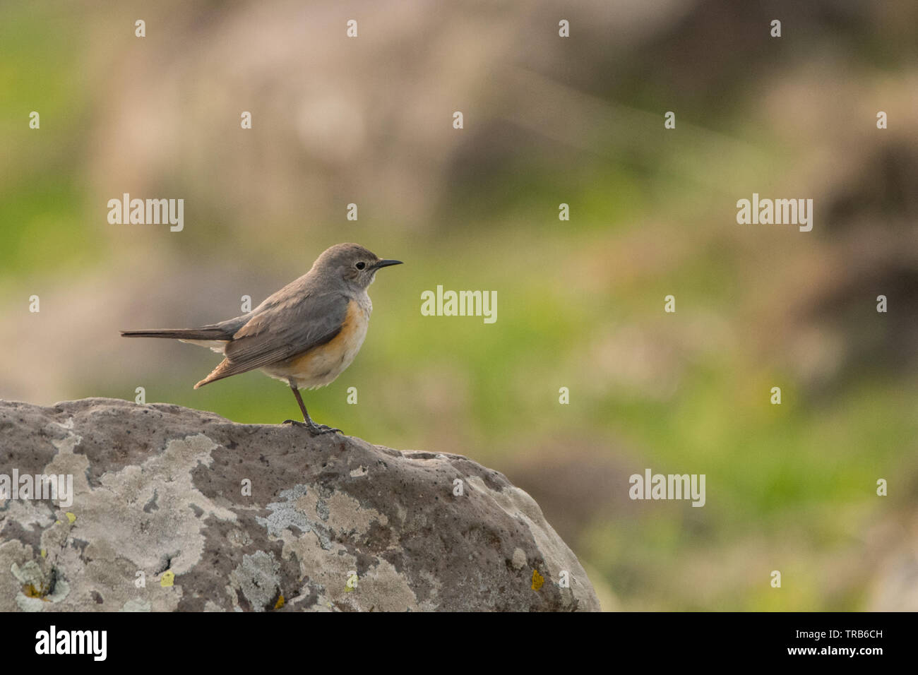 Stunning bird photo. White-throated robin (Irania gutturalis). Stock Photo