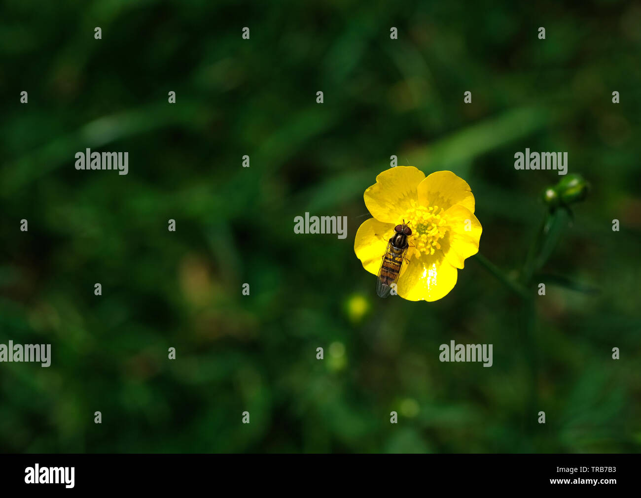 Insect on a yellow buttercup flower Stock Photo
