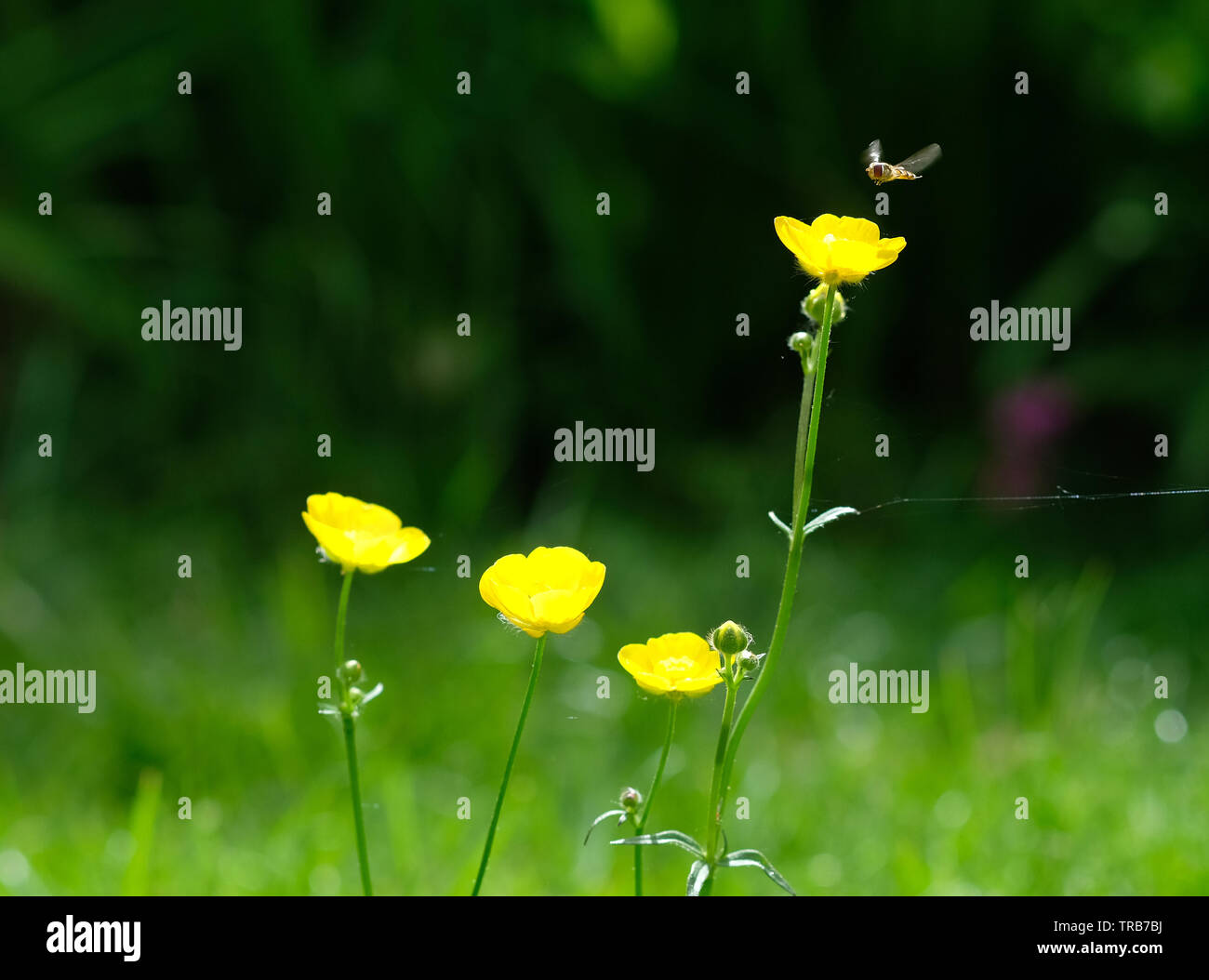 Yellow buttercup flowers insect hovering Stock Photo