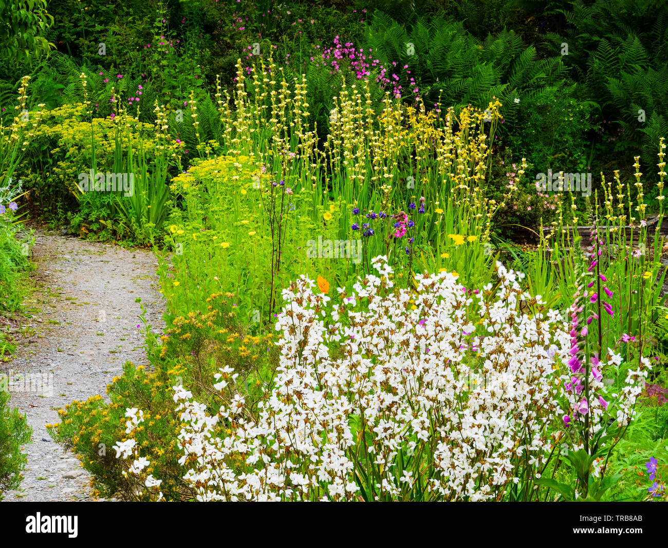 Early summer perennial planting combination dominated by the white spikes of Libertia formosa and yellow spikes of Sisyrinchium striatum - Stock Image