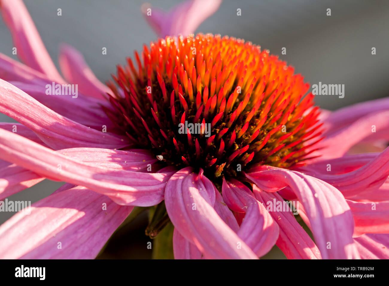 purpursonnenhut - Stock Image