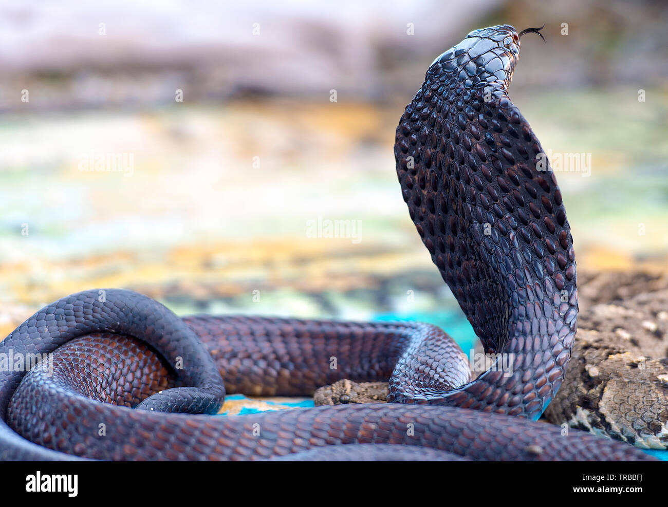 Black Cobra Stock Photos & Black Cobra Stock Images - Alamy