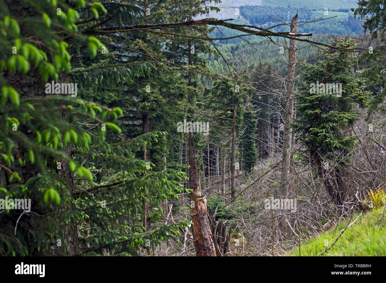 Storm damage to a conifer plantation in Angus, Scotland, UK. - Stock Image