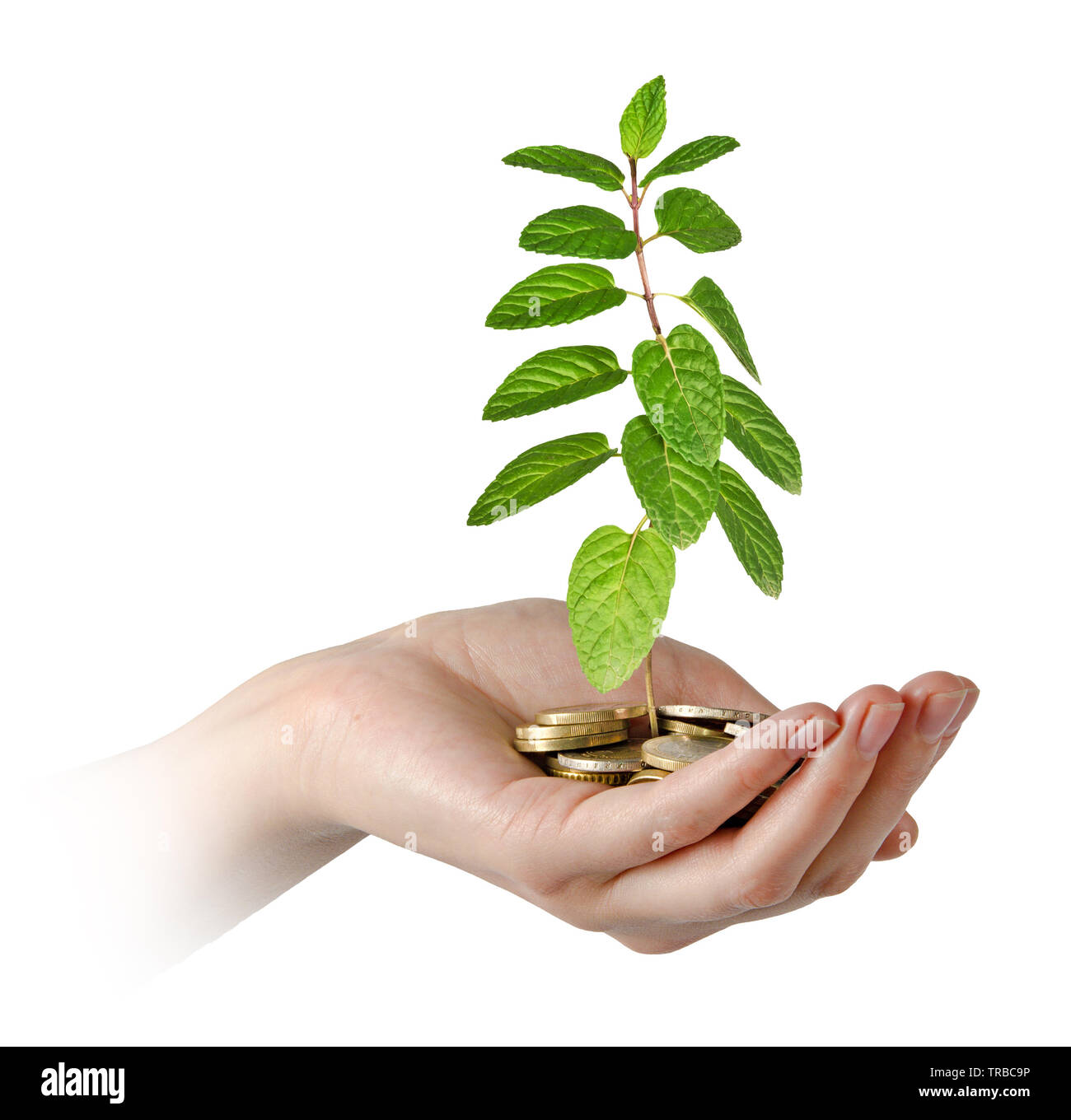 Mint in hand - Stock Image