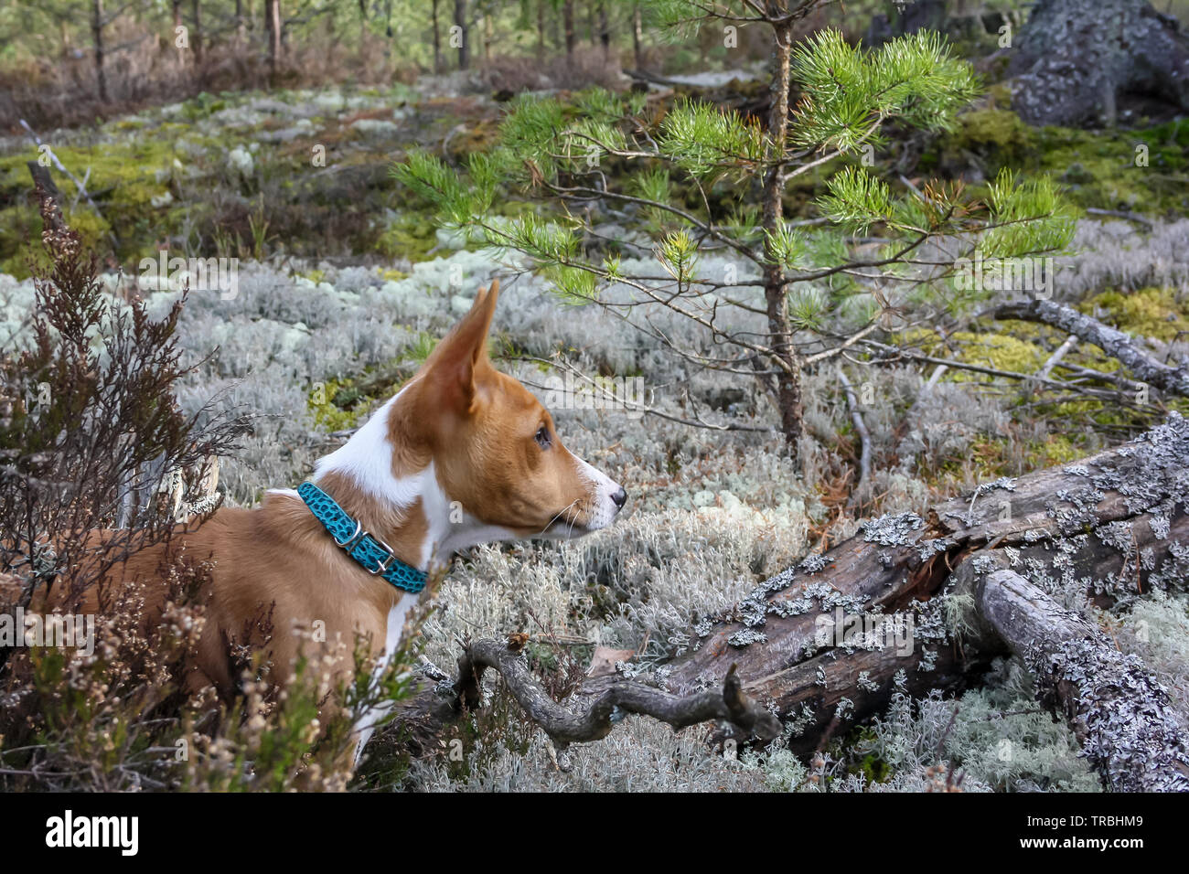 A dog of basenji breed with short hair of white and red color, standing outside with forest in background on summer - Stock Image