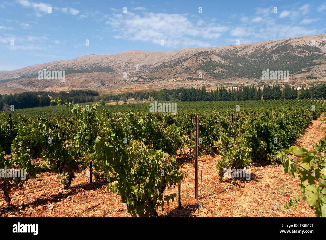 Weinbau Libanon - Stock Image