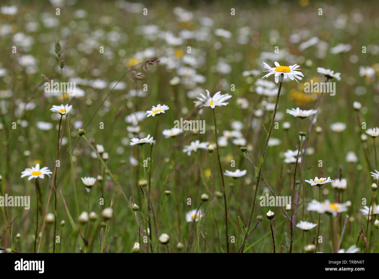 wild meadow Magog Down Cambridge - Stock Image