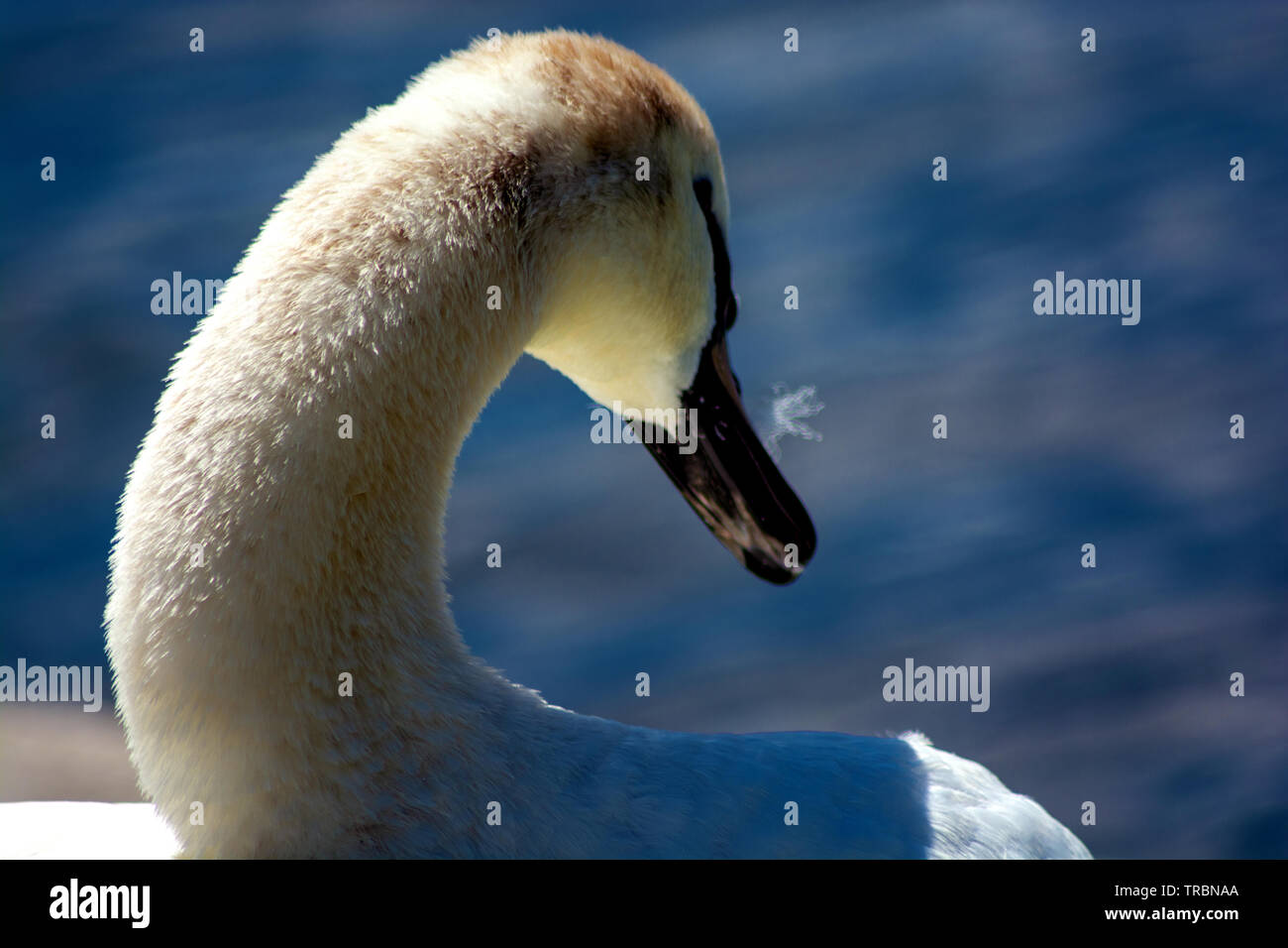 Concept wildlife : The Queen of Water - Stock Image