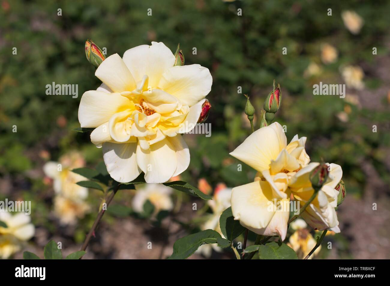 Sister Therese roses at Bush's Pasture Park in Salem, Oregon, USA. - Stock Image