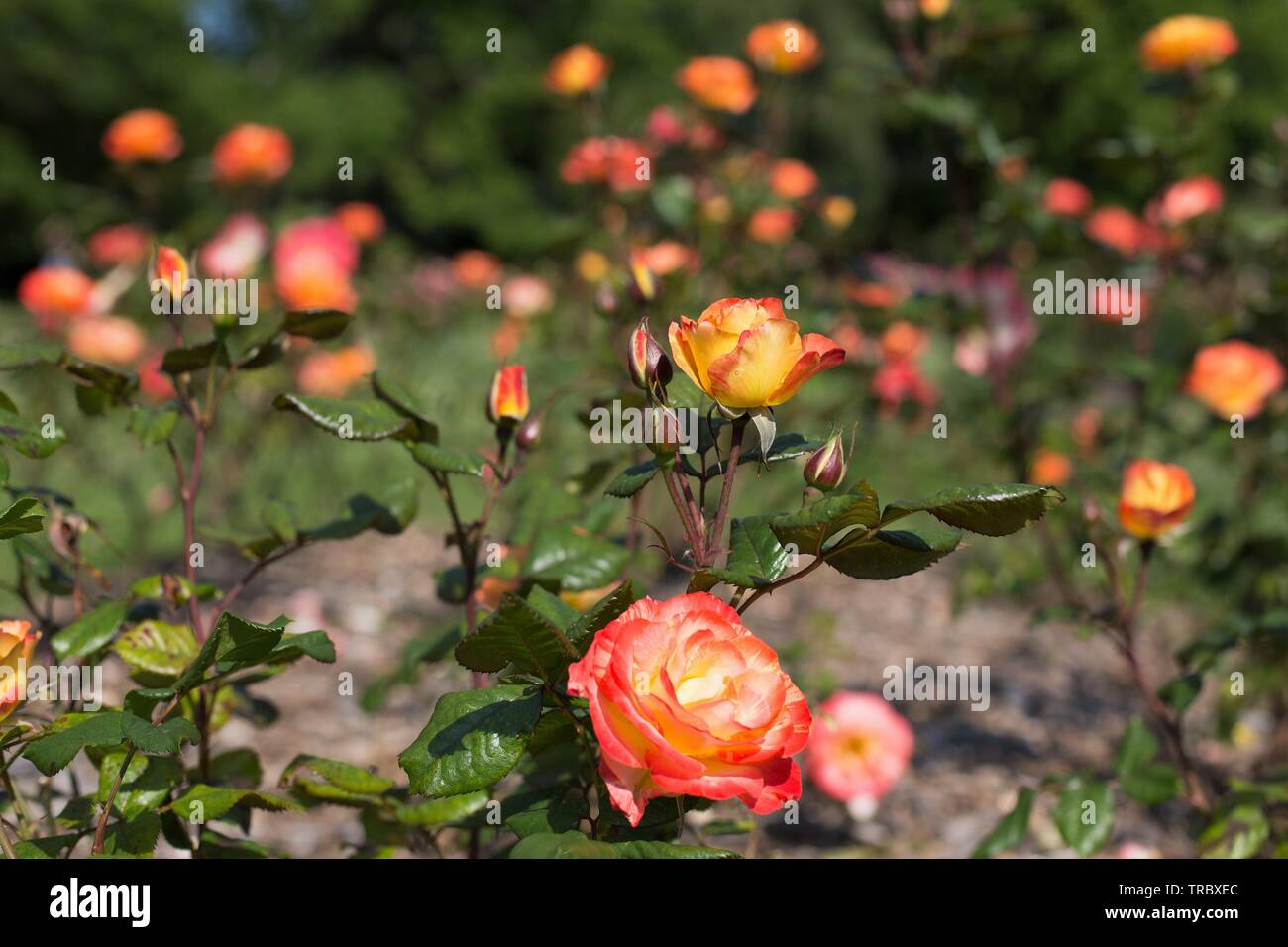 Chihuly Floribunda roses at Bush's Pasture Park in Salem, Oregon, USA. - Stock Image