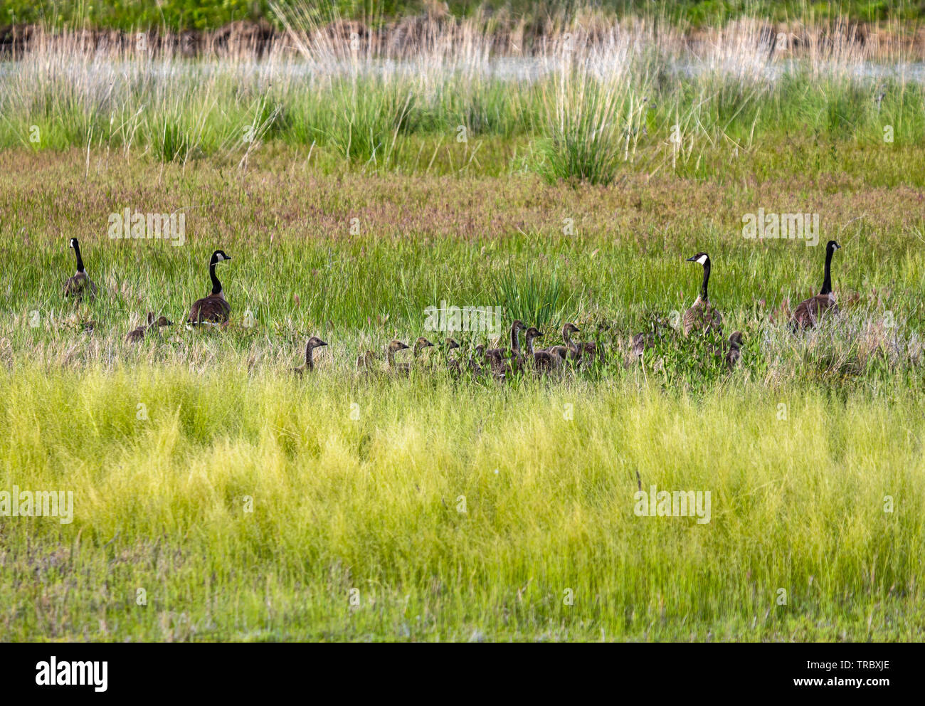 Two sets of Canada Geese (Branta canadensis)  parents and a whole bunch of goslings walk through the grass at Bear River Migratory Bird Refuge, Utah. - Stock Image