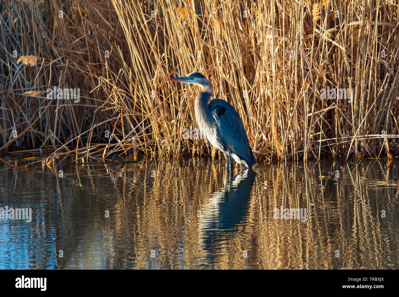 In this shot a Great Blue Heron (Ardea herodias) wades in the waters of the Bear River at the Bear River Migratory Bird Refuge in northern Utah. - Stock Image