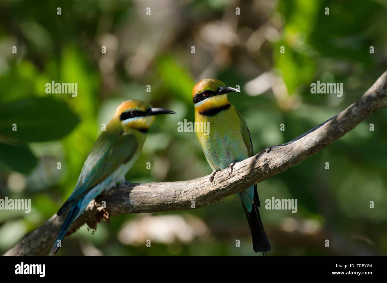 Rainbow Bee-eaters perched above the Yellow Water billabong, Kakadu, Australia - Stock Image