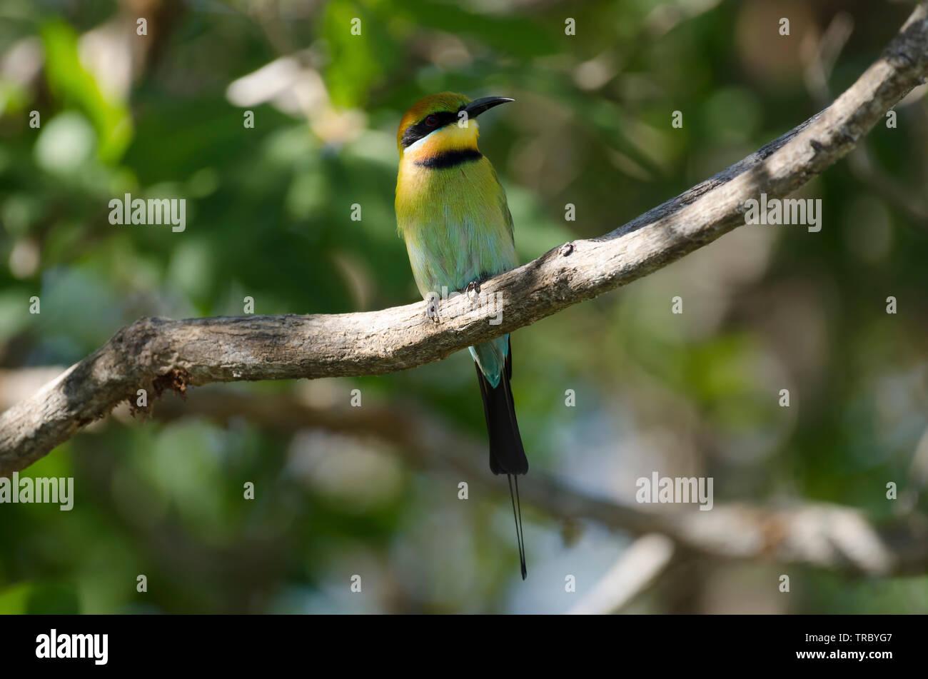 Rainbow Bee-eater perched over Yellow Water billabong, Kakadu, Northern Territory, Australia - Stock Image