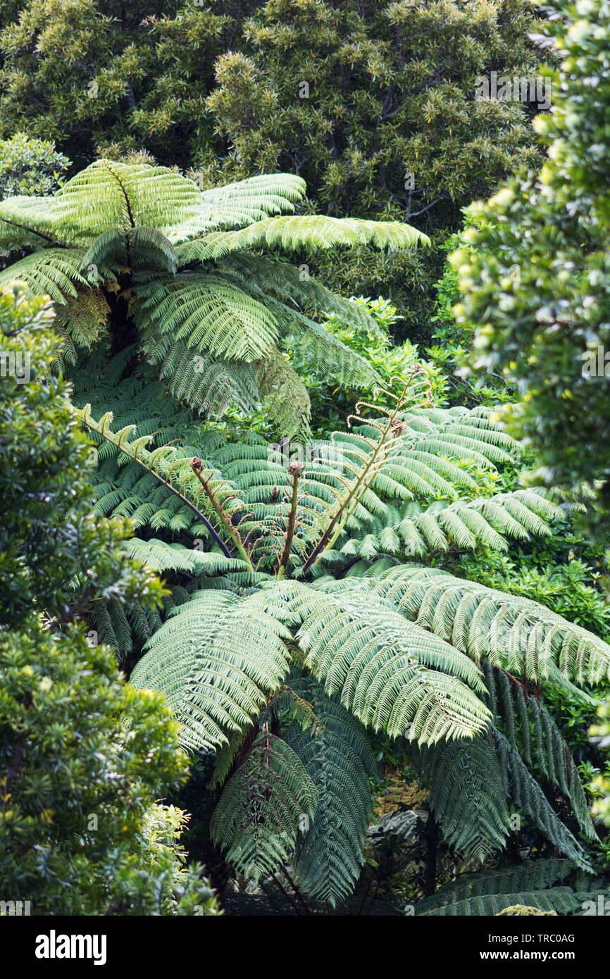 New Zealand Tree Fern in a lush green forest. Stock Photo