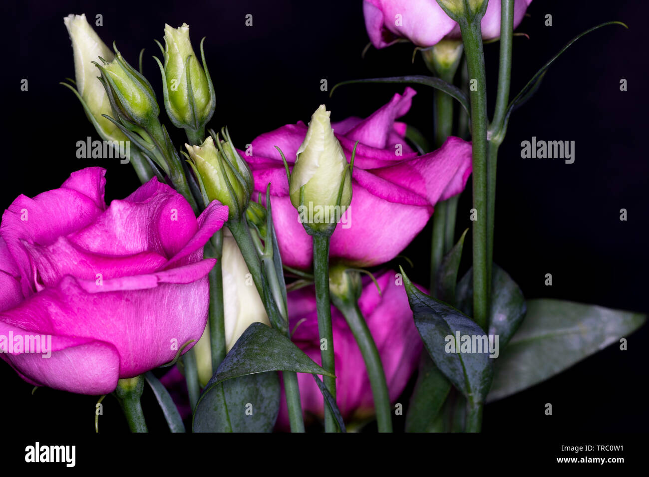 Eustoma, commonly known as lisianthus or prairie gentian, genus in the gentian family, macro with shallow depth of field - Stock Image