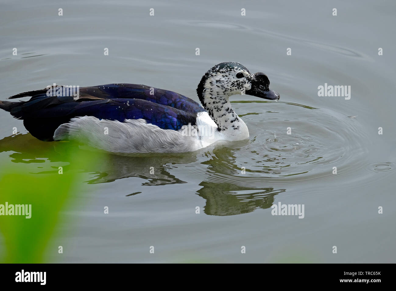 captive knob billed, african comb duck on water, norfolk, england Stock Photo