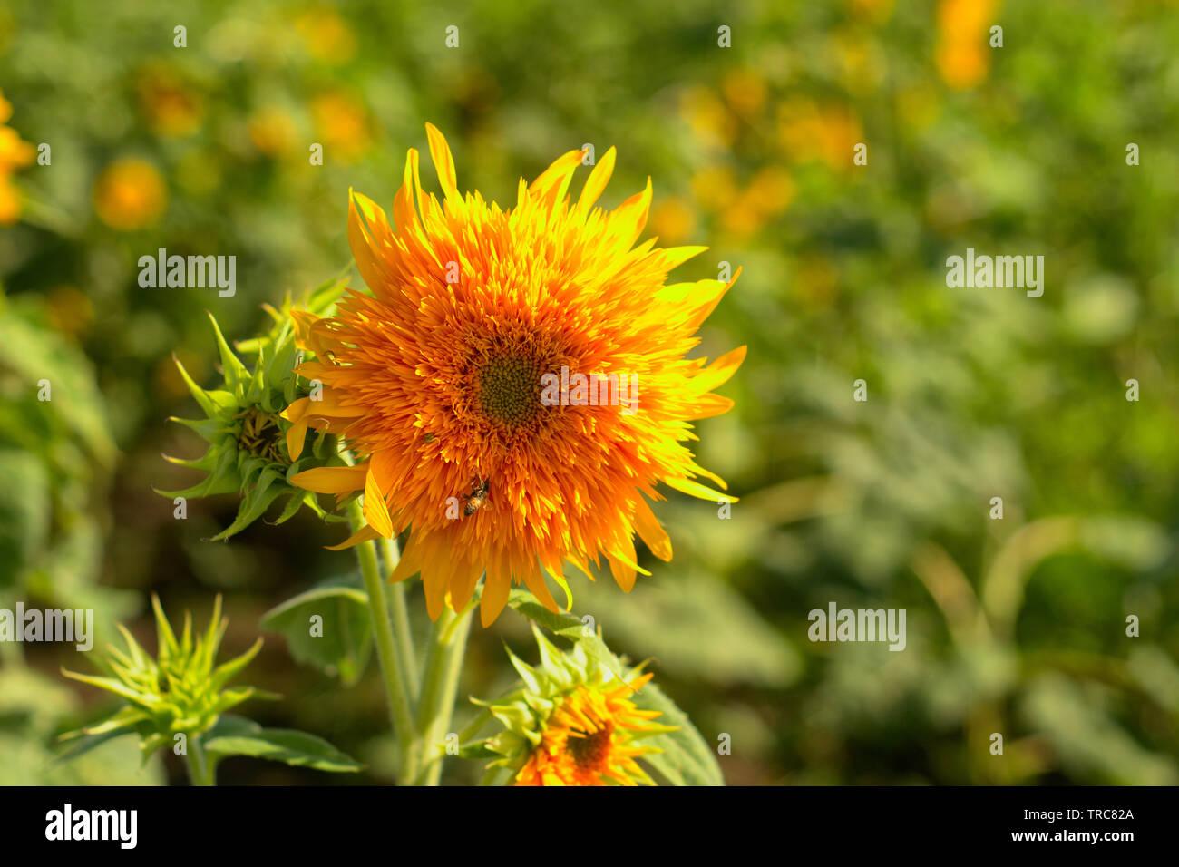 Hippie Sunflower? - Stock Image