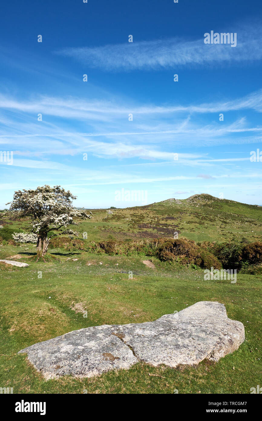 Sharp Tor on Dartmoor, Devon, UK, with a flowing hawthorn tree and granite slab on the foreground. - Stock Image