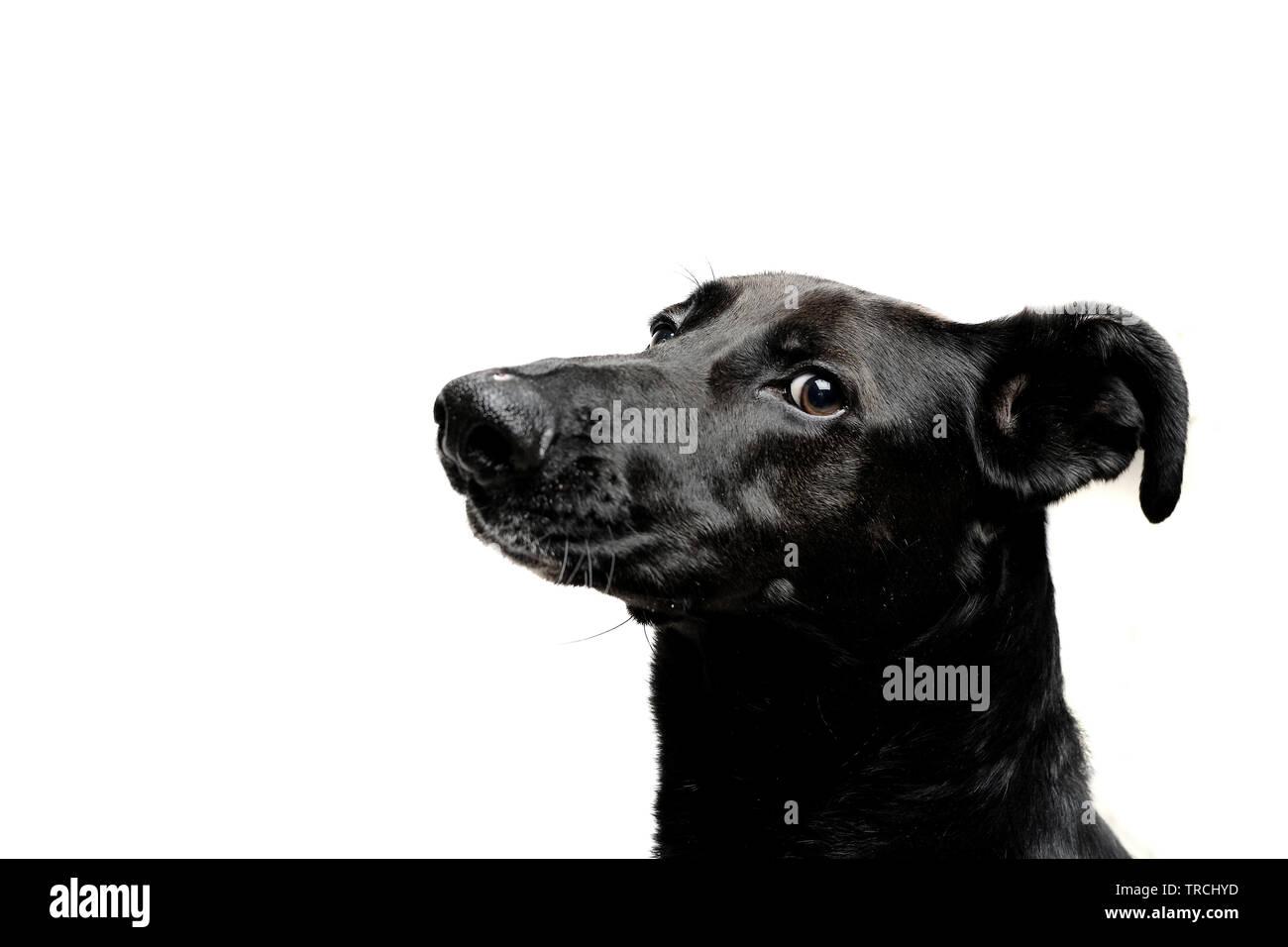 black dog with white background isolated - Stock Image