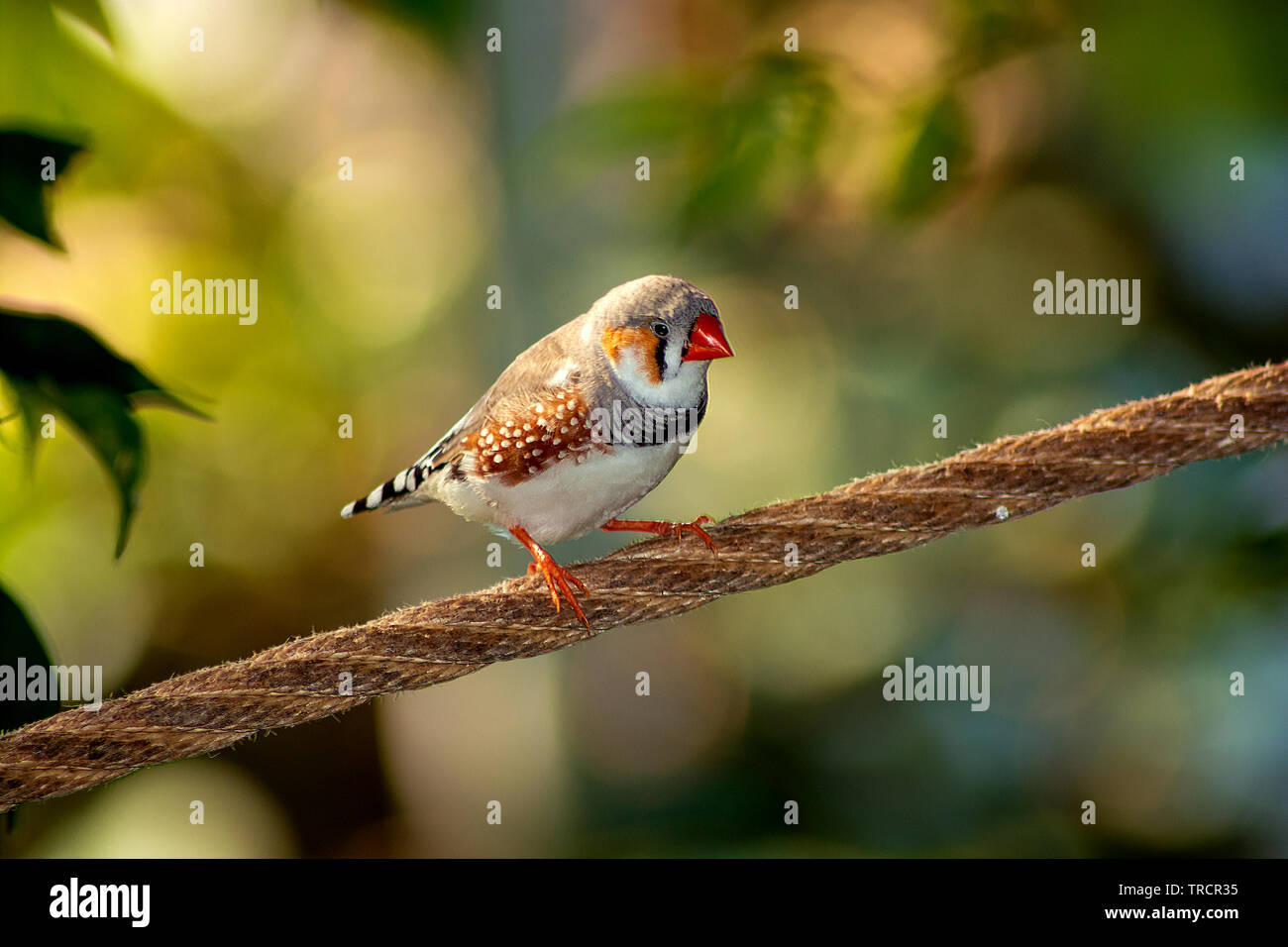 Concept nature : The wonderful african finch - Stock Image