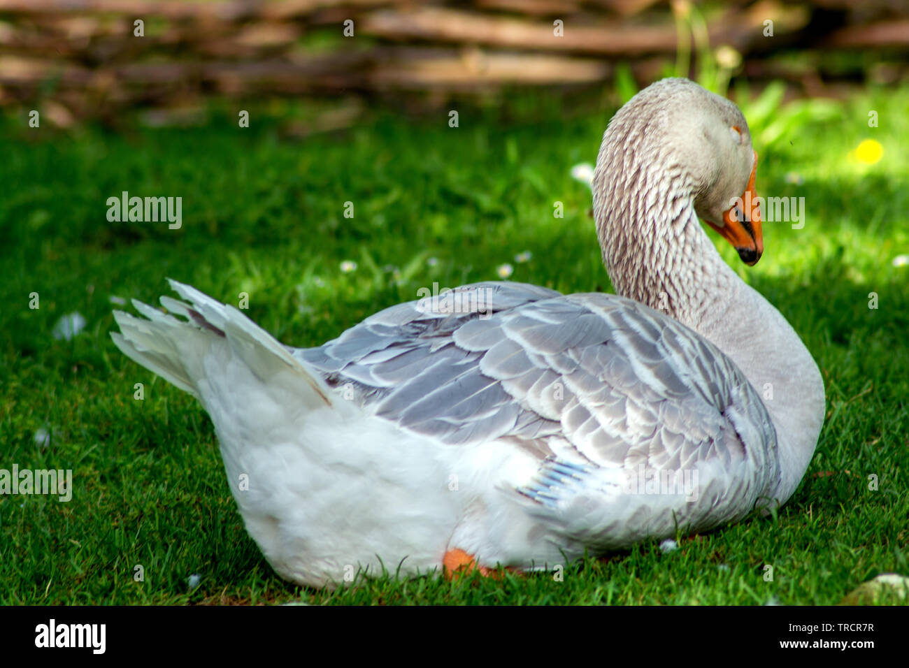 The lazy goose - Stock Image