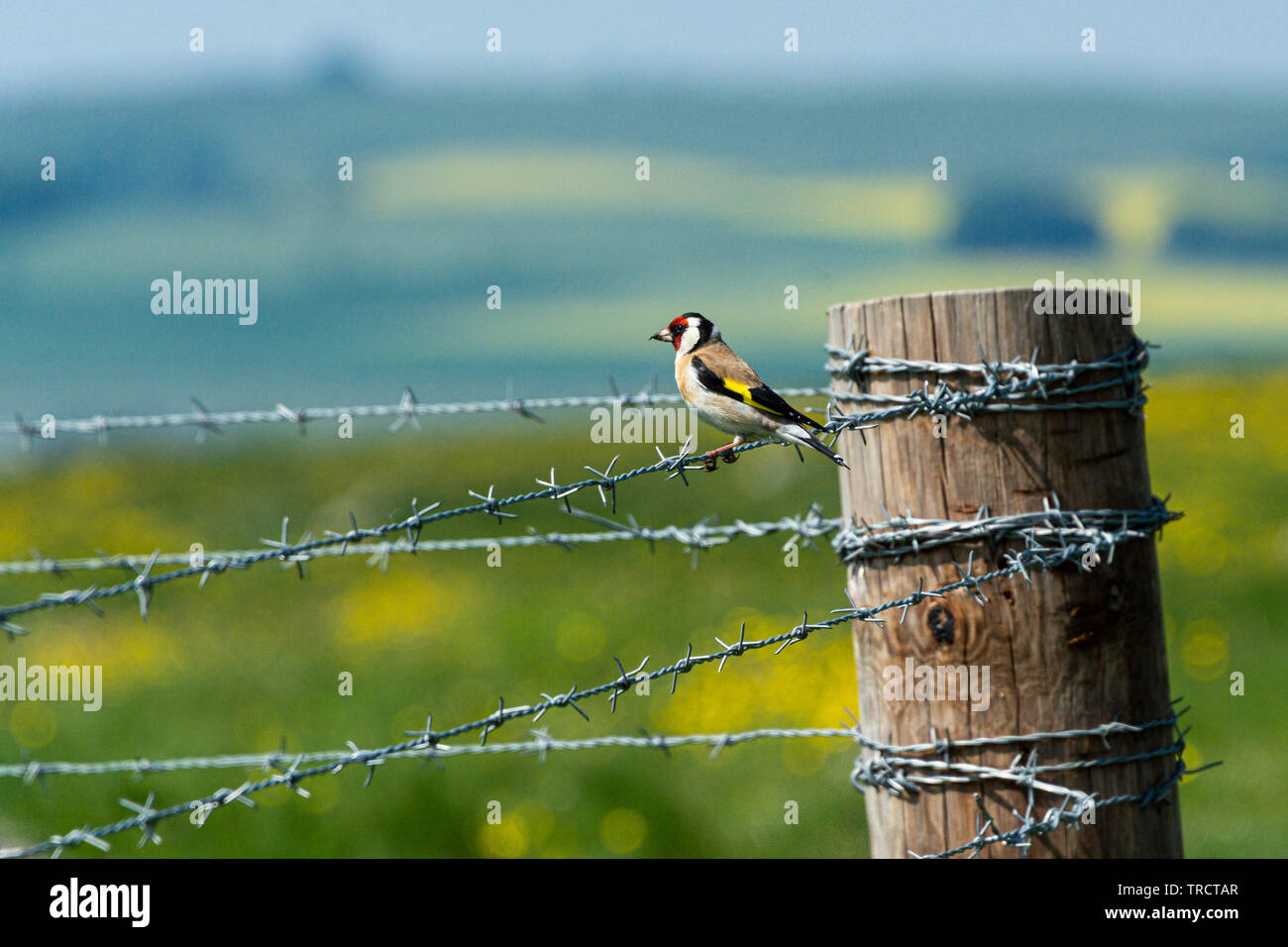 A goldfinch (Carduelis carduelis) perched on a barbed wire fence - Stock Image