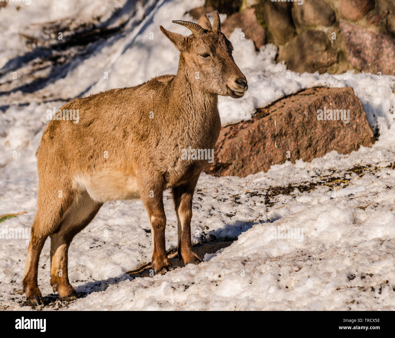 East Caucasian tur or Daghestan tur (Capra caucasica cylindricornis) female with rocks and snow background with sunlight - Stock Image