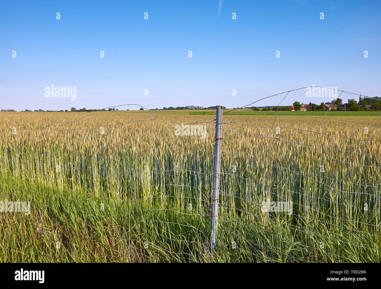 Field of rye behind a wire fence. - Stock Image