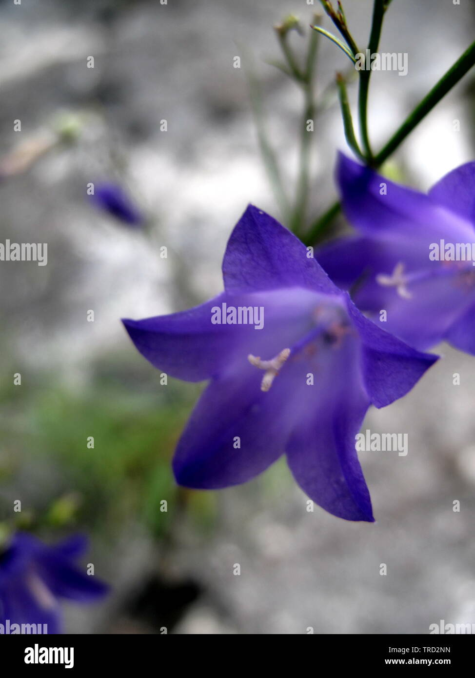 Beautiful purple wildflowers from the swiss alps. My .Bluebell leans over rocks. Campanula alpina - Stock Image