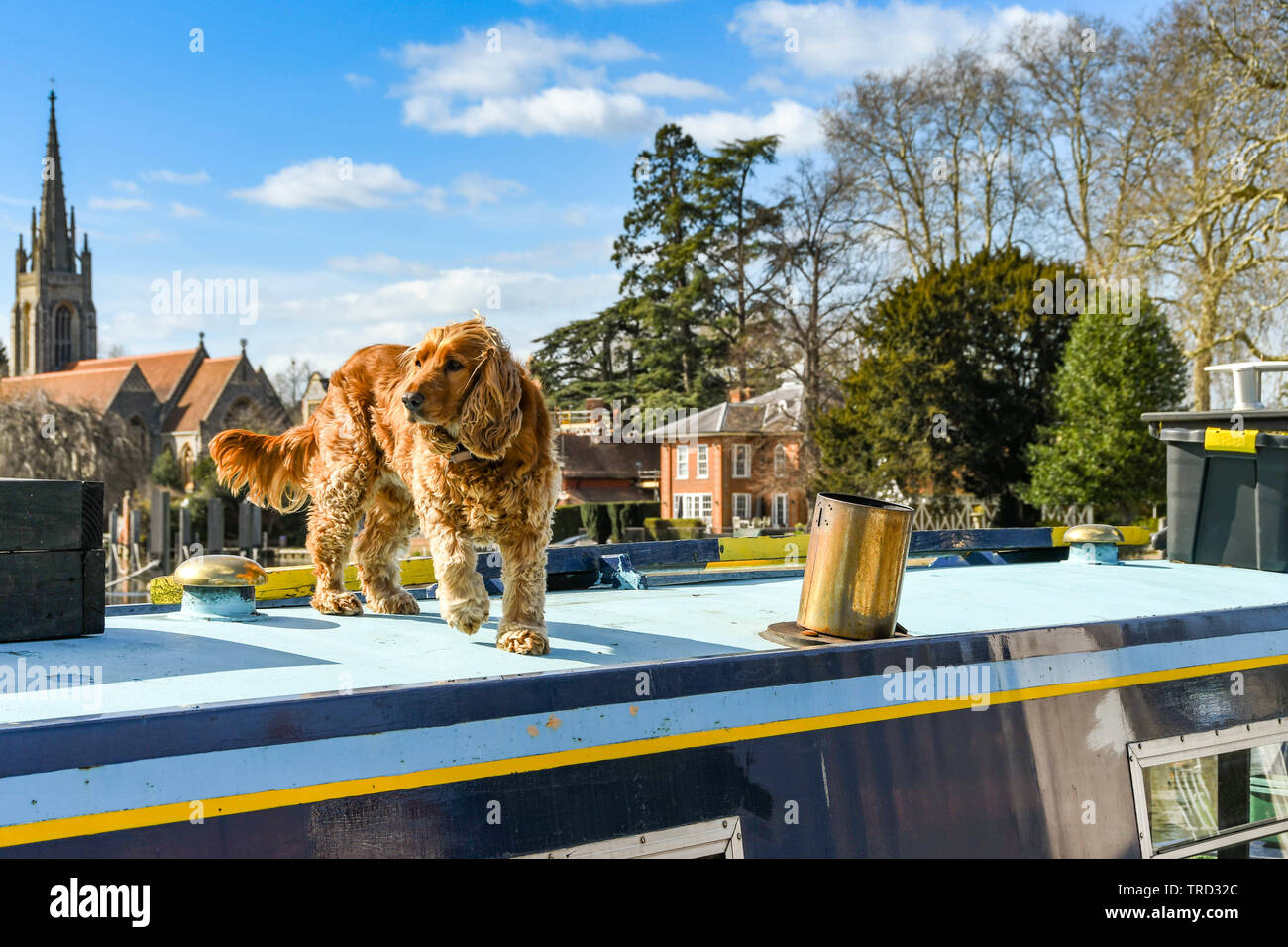 MARLOW, ENGLAND - MARCH 2019: Pet dog on top of a narrow boat on the River Thames in Marlow. Stock Photo