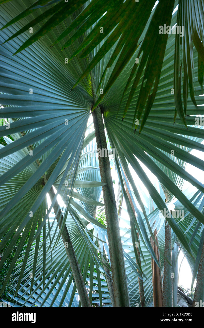 FAN PALMS TOGETHER CREATING BEAUTIFUL ABSTRACTED DESIGN BEING NATURES BEAUTY - Stock Image