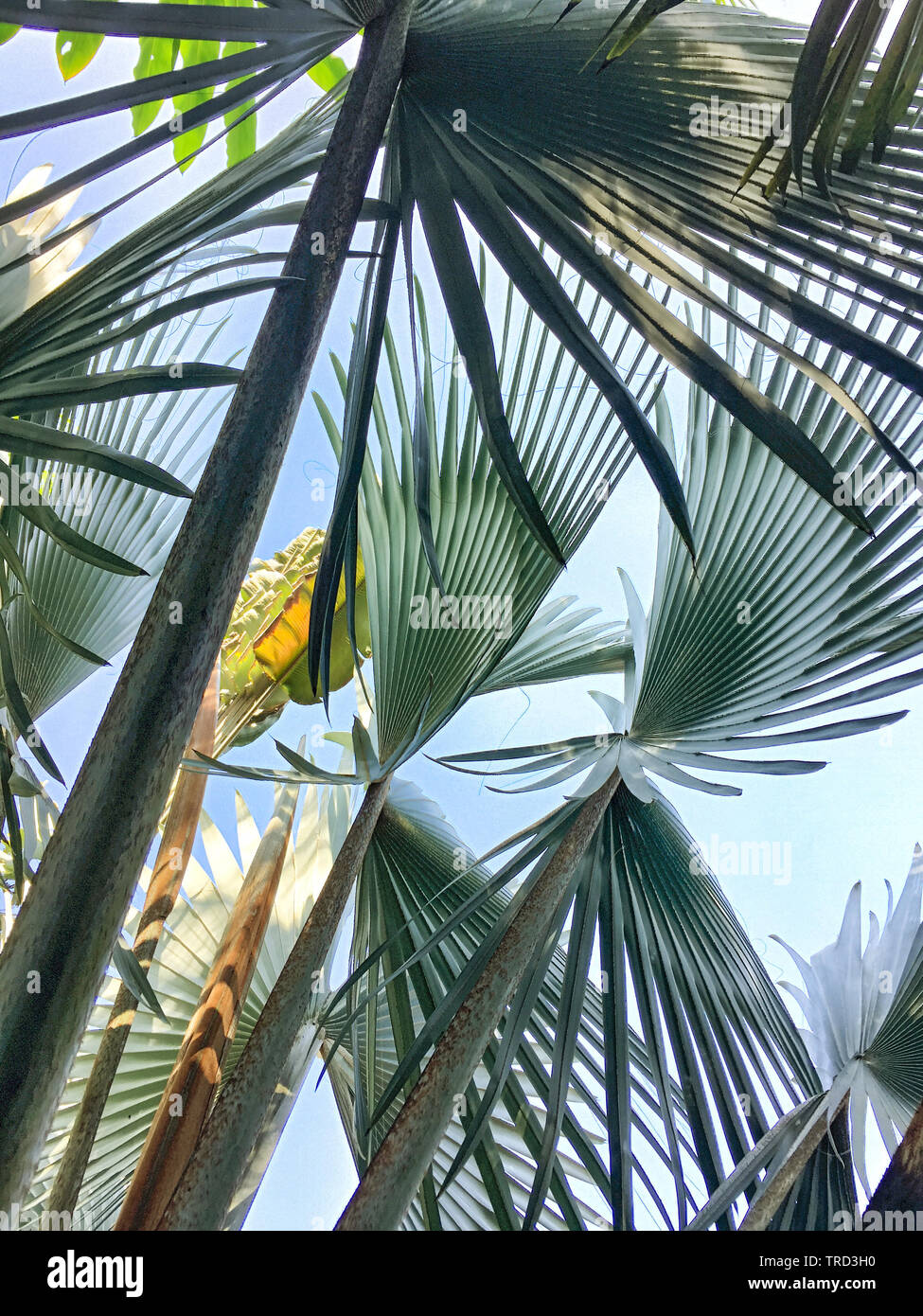 FAN PALMS IN HARMONY CREATING WONDERFUL NATURAL DESIGN - Stock Image