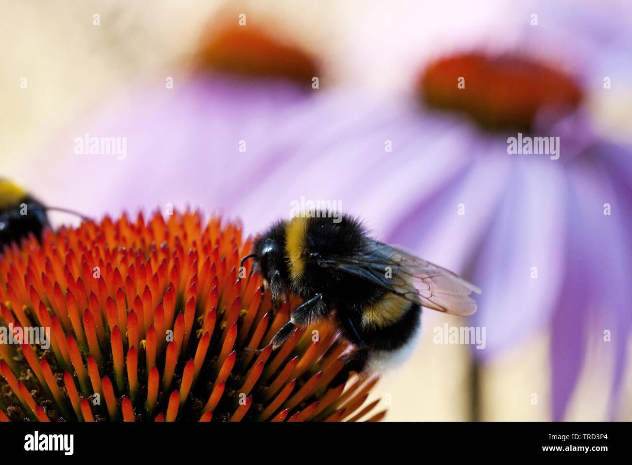 Hummel auf Echinacea - Stock Image