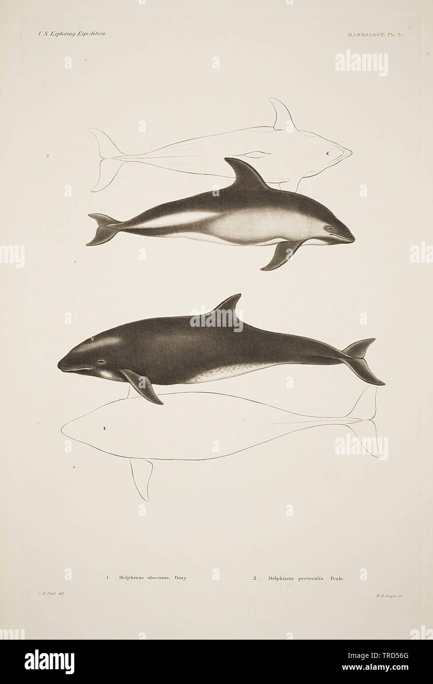 Dusky dolphin drawings in Plate 5 of Mammalogy section in Mammalogy and Ornithology (1858) - Stock Image