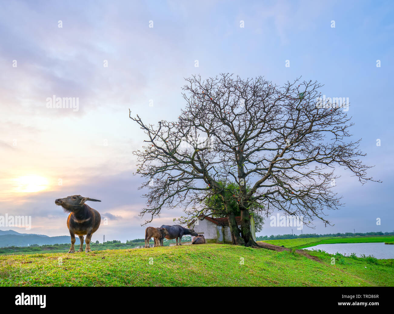 Buffalo is relaxing, eating grass next to the shrine have multi centuries-old trees in rural Vietnam peaceful - Stock Image